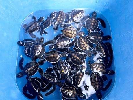 Ile de Moorea, Hotel Intercontinental Beachcomber. Centre de soins pour les tortues marines. 26 tortues nées la veille et amenées au centre par un particulier. Elles vont être élevées, et soignées si nécessaire, avant d'être relâchées lorsqu'elles auront atteint la taille de 40 centimètres de long. © Alexis Rosenfeld - Reproduction interdite