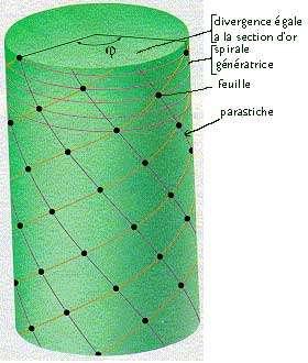 Spirale génératrice, angle de divergence et parastiche.