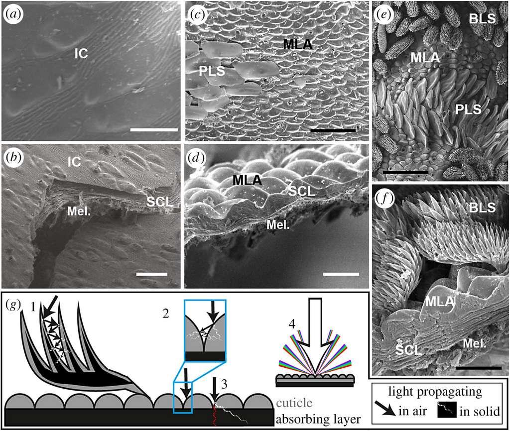 Surface de l'abdomen de l'araignée paon Maratus speciosus au niveau de ses taches brunes (a, b) et de ses taches noires (c, d), ainsi que de l'araignée paon Maratus karrie au niveau de ses taches noires (e, f), vue au microscope électronique. Des microstructures, clairement visibles pour les zones noires, les rendent super-noires (absorption quasi totale de la lumière). Échelle : 30 μm (a, c), 10 μm (b, d, f) et 50 μm (e). © Dakota McCoy et al., Proceedings of the Royal Society B, 2019