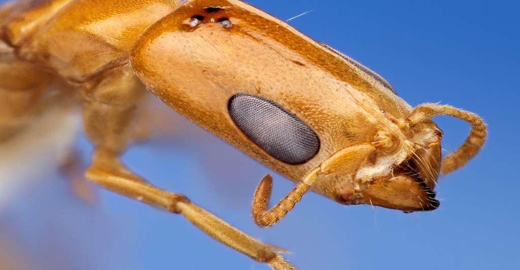 Pseudomyrmex filiformis. © Insects Unlocked - CC BY-NC 2.0