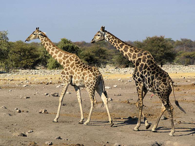 Girafe mâle courtisant une femelle. © Hans Hillewaert, Wikipédia, CC by-sa 3.0