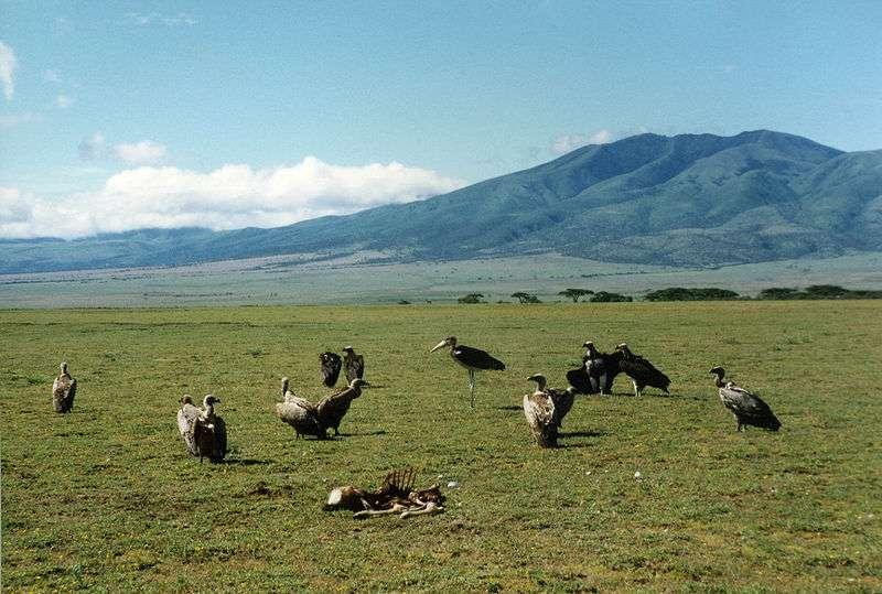 Le marabout d'Afrique côtoie les vautours. © Kevin Walsh, Wikipédia, CC-by-2.0