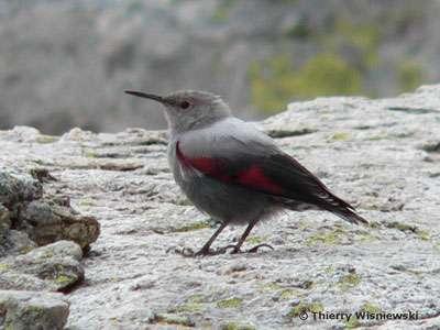 Tichodrome échelette, un petit oiseau gris cendré et rouge sur les ailes. © Thierry Wisniewski, Wikipedia