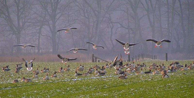 Colonie d'oies cendrées en migration. © Daniel Ullrich Threedots, Wikipédia, GNU 1.2