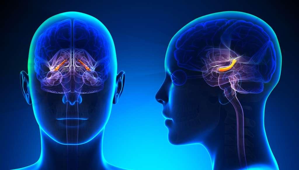 L'hippocampe est impliqué dans la mémoire épisodique. © decade3d, Fotolia