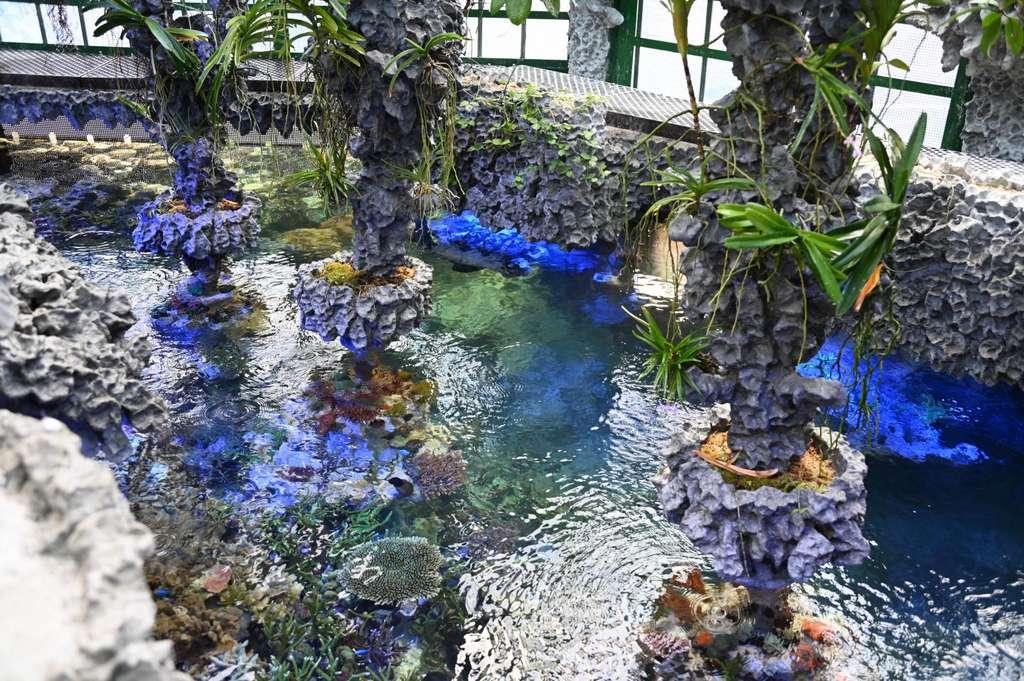 Les trois formes de ce corail ont été cultivées dans un aquarium privé au cours des vingt dernières années. Celui-ci a permis aux chercheurs de les étudier. © OIST
