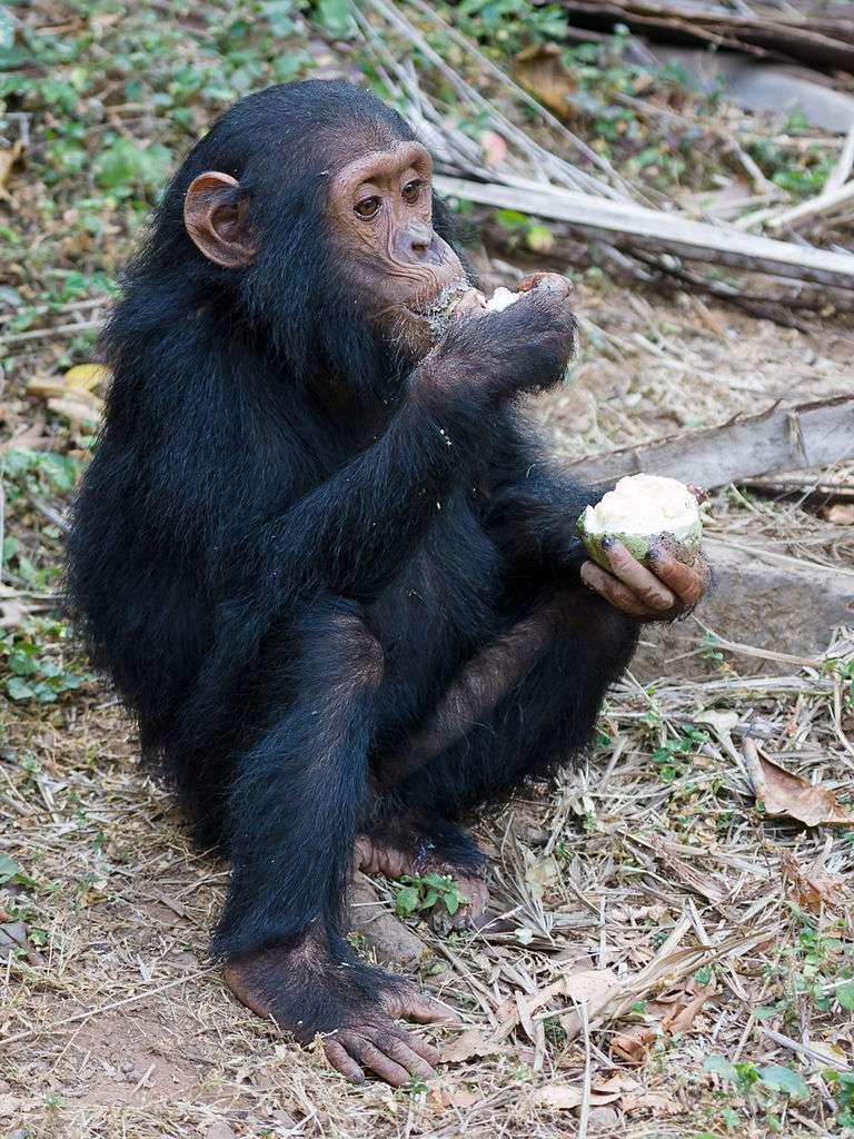 Jeune chimpanzé dégustant un fruit, l'une des nombreuses sources de son alimentation. © GNU 1.2