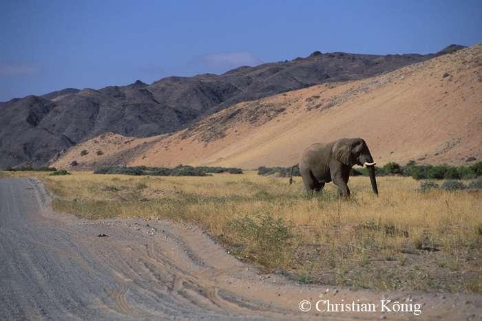 Il est conseillé de ne pas approcher les éléphants du désert à moins de 100 mètres, pour éviter de les effrayer. © Christian König, DR