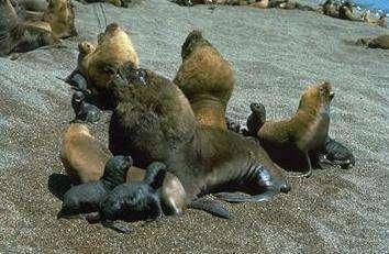 © NOAA – Les pinnipèdes sont des victimes de choix pour la marée noire !