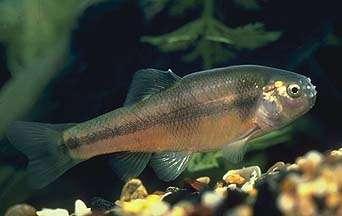 Le poisson tête de boule (Pimephales promelas) vit naturellement dans les eaux tempérées de l'Amérique du Nord. Il a récemment été introduit en Europe où il est localement considéré comme une espèce invasive. Il est apprécié par les pêcheurs qui l'utilisent comme appât. © Utah Division of Wildlife Resources