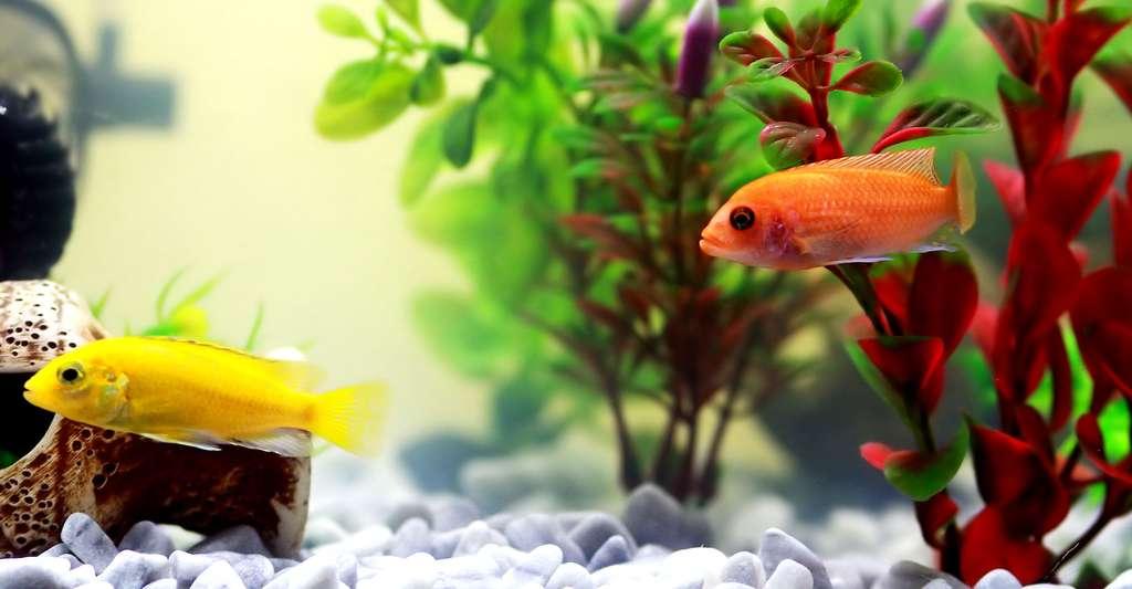 La vie présente dans un aquarium. © Irina-3, Domaine public
