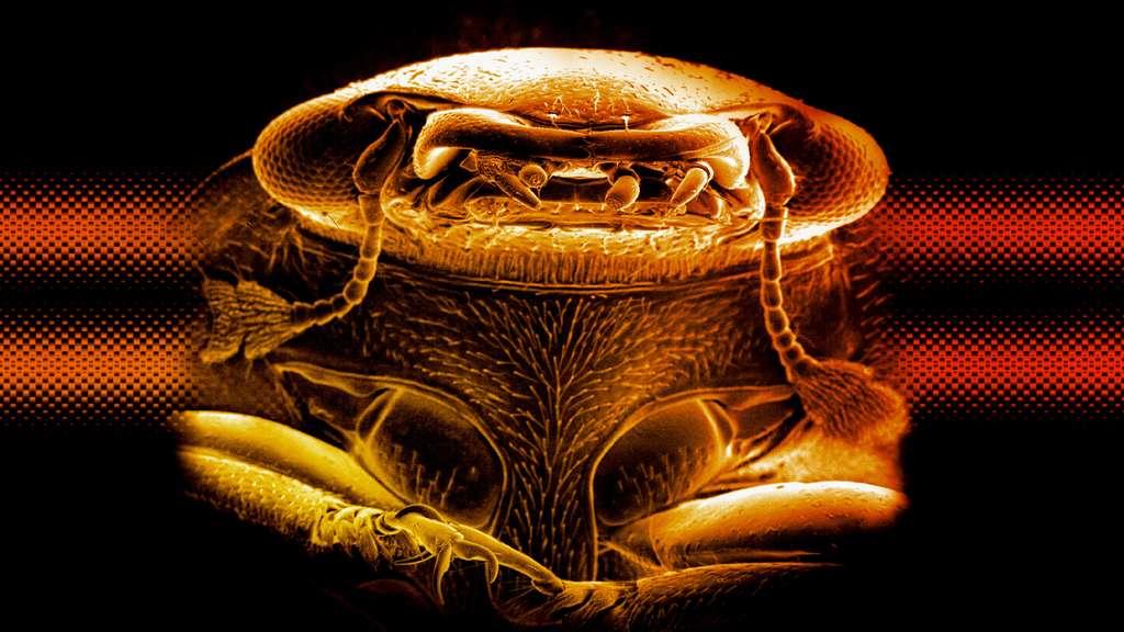 Les Phalacridae sous l'œil du microscope électronique