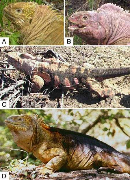 En A et D, iguanes du genre Conolophus photographiés respectivement sur les flancs des volcans Sierra Nerga et Wolf. En B et C, deux spécimens de rosada du volcan Wolf. Crédit : Gabriele Gentile/PNAS