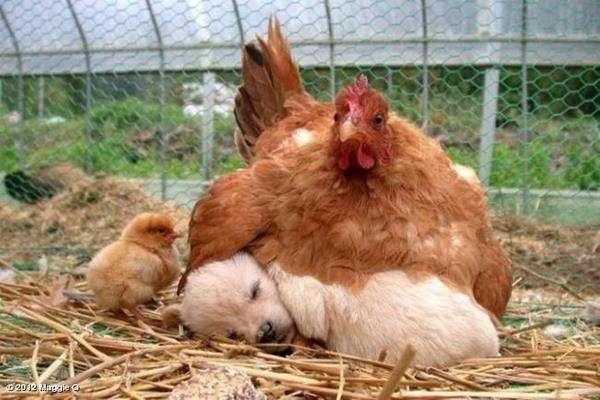 Une poule qui couve... un chiot !