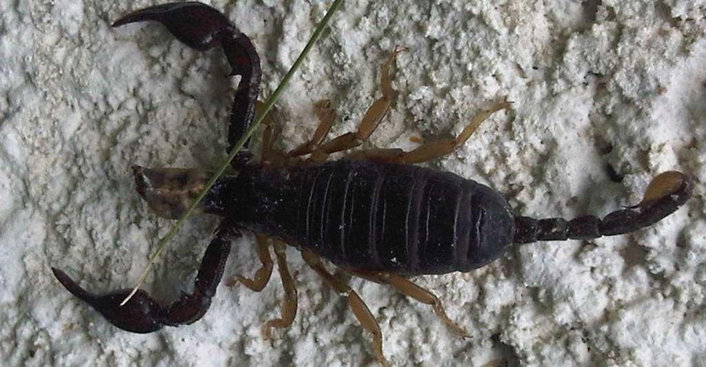 Euscorpius flavicaudis, le scorpion noir à queue jaune, est l'espèce de scorpions la plus fréquemment rencontrée en France. © Wikimedia Commons, Paulu, DP