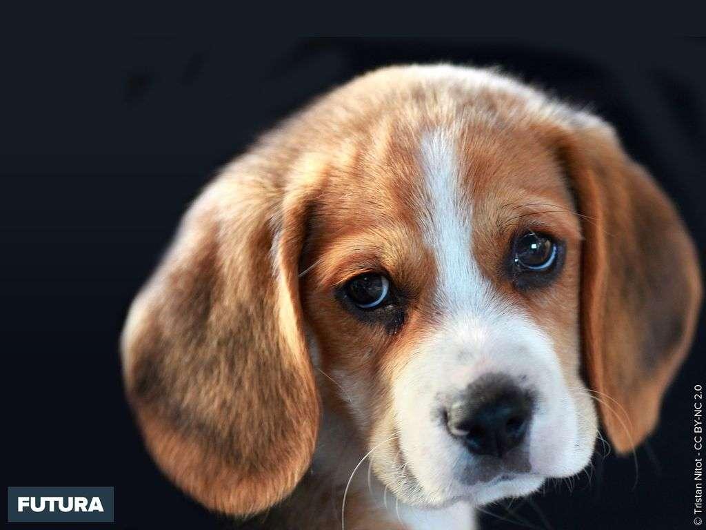 Un attendrissant Beagle