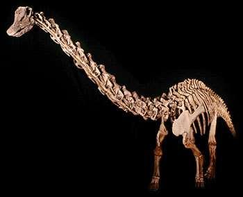 Erketu ellisoni et son long cou viennent de rejoindre la super-famille des sauropodes (Crédits : www.ucmp.berkeley.edu)