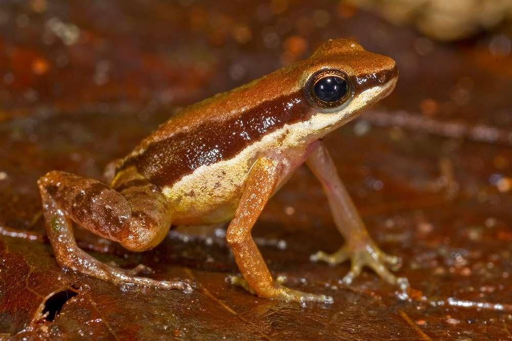 La petite grenouille Allobates amissibilis correspond à la troisième espèce d'Allobates découverte en Guyana. © Philippe Kok