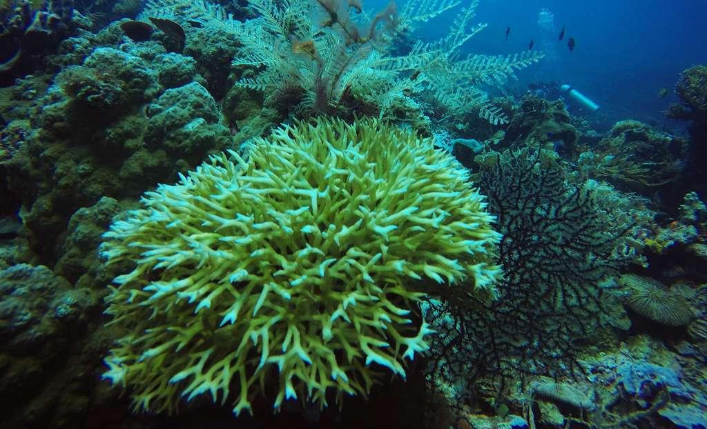 Les coraux sont des habitats très utiles pour les poissons. © Mudasir Zainuddin, Wikimedia commons, CC 4.0