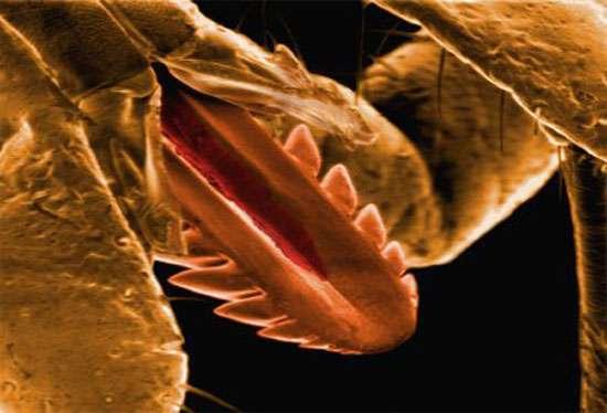 Rostre d'une tique. Les barbules servent à garder le rostre enfoncé dans la peau. © Pascal Goetgheluck/Mona Lisa, reproduction et utilisation interdites