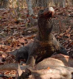 Varanus komodoensis, alias Dragon de Komodo, atteint trois mètres de longueur. Personne ne s'était encore aperçu que sa morsure était dangereuse. (Cliquer sur l'image pour l'agrandir.) © Chris Kegelman