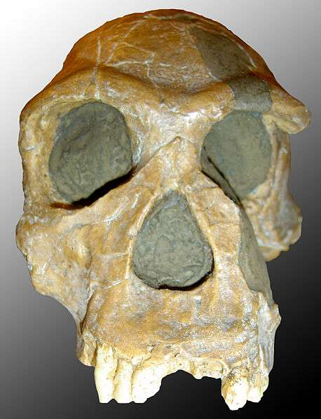 Homo habilis, l'Homme habile, est considéré comme le plus ancien membre du genre humain. Il a vécu entre 2,4 et 1,4 million d'années, en Afrique. Aurait-il été aidé par le gène Srgap2c pour créer l'outil ? © 120, Wikipédia, cc by sa 3.0
