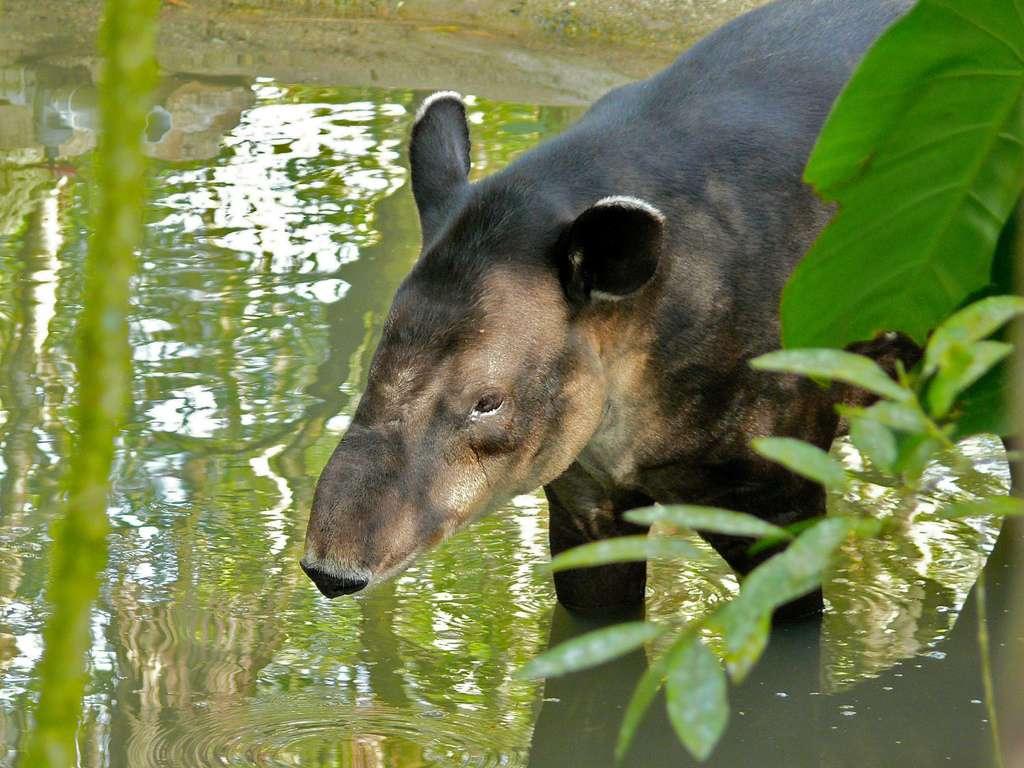 Tapir de Baird dans un zoo du Belize. © Flickr, berniedup, cc by nc sa 2.0