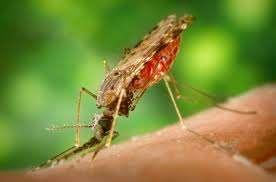Le parasite du paludisme est propagé par la piqûre de certaines espèces de moustiques anophèles. En 2009, environ 225 millions de personnes ont été atteintes de paludisme, et 781 000 en sont mortes. © Center for Disease Control, Wikimedia Commons, cc by sa 3.0