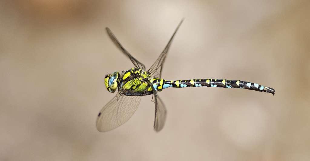 Libellule Aeshna cyanea. © Marco Maggesi - Shutterstock