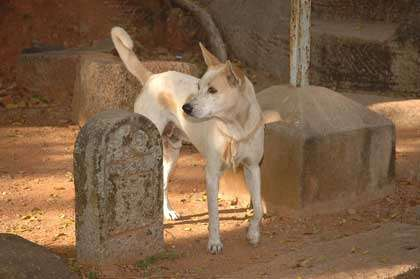 Chien paria en Inde. © Mrs Hilksom, Flickr, licence Creative Common, CC by-nc-sa 2.0