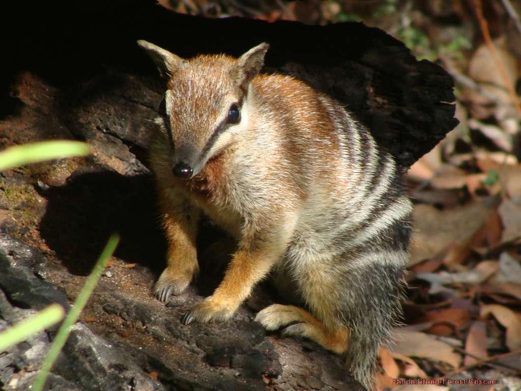 Le numbat, un animal chasseur de termites
