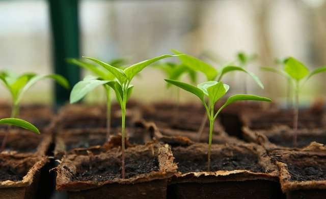 Semis prêts à être plantés. © Jag2020, Pixabay, DP