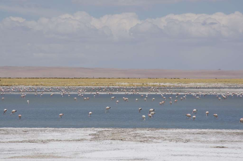 La Réserve nationale des flamants roses au milieu de l'Atacama