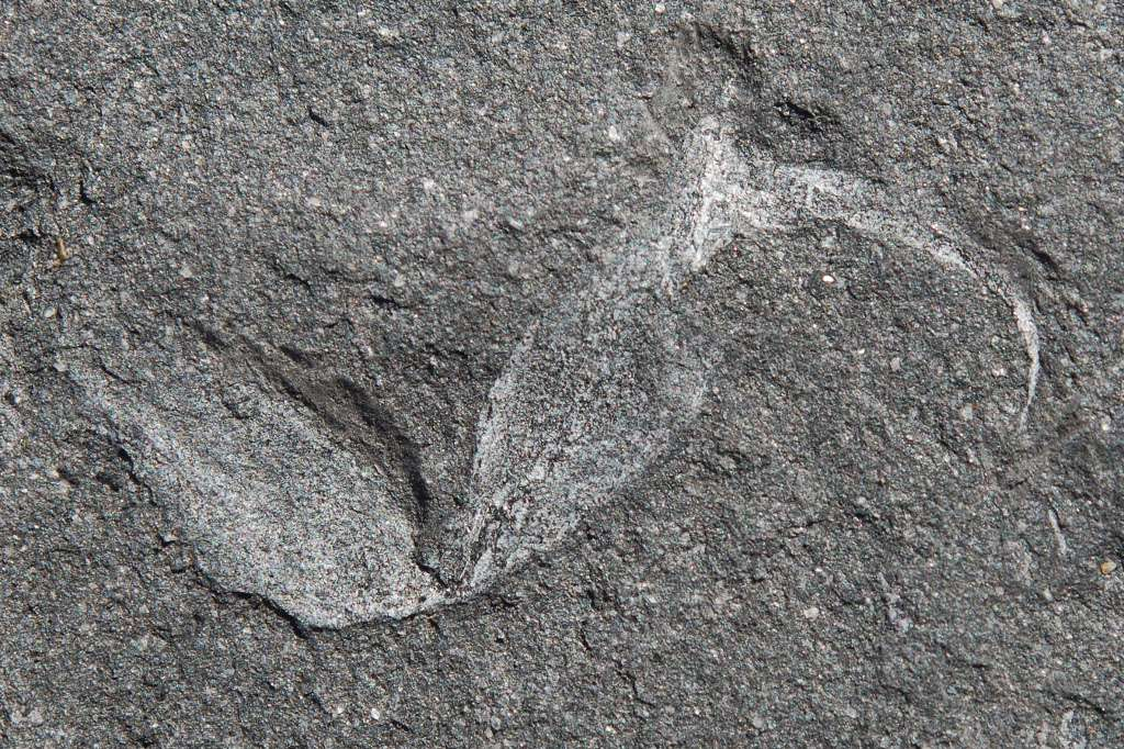 Cet aiguillon appartenait a un Gondwanascorpio emzantsiensis, un scorpion qui a vécu sur le Gondwana voici 360 millions d'années. Plus tard, voici 300 millions d'années, le Gondwana et la Laurasie se sont rejoints, et ont alors formé la Pangée. © University of the Witwatersrand