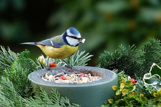 Le spectacle des oiseaux près de chez soi : ici une mésange bleue. © Oldiefan, Pixabay, DP