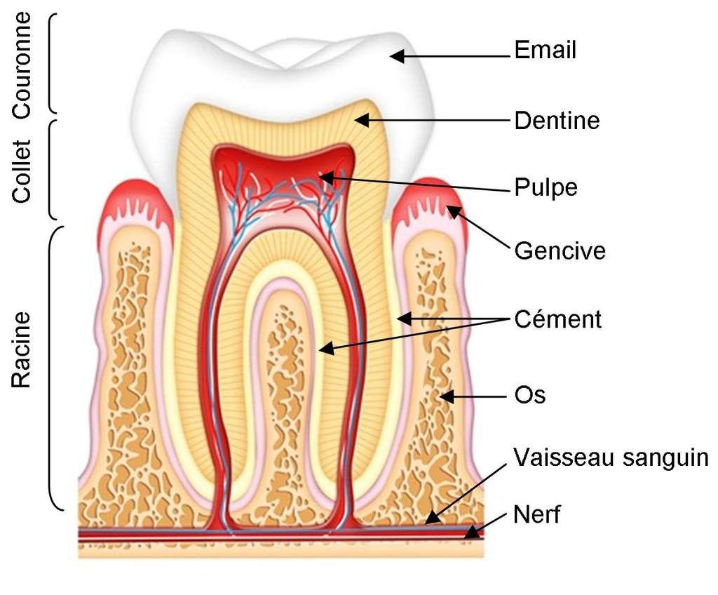 Anatomie de la dent : coupe d'une dent et détail de la gencive présentant de multiples combinaisons osseuses et nerveuses dont il faut prendre soin. © Mutualité française Nord