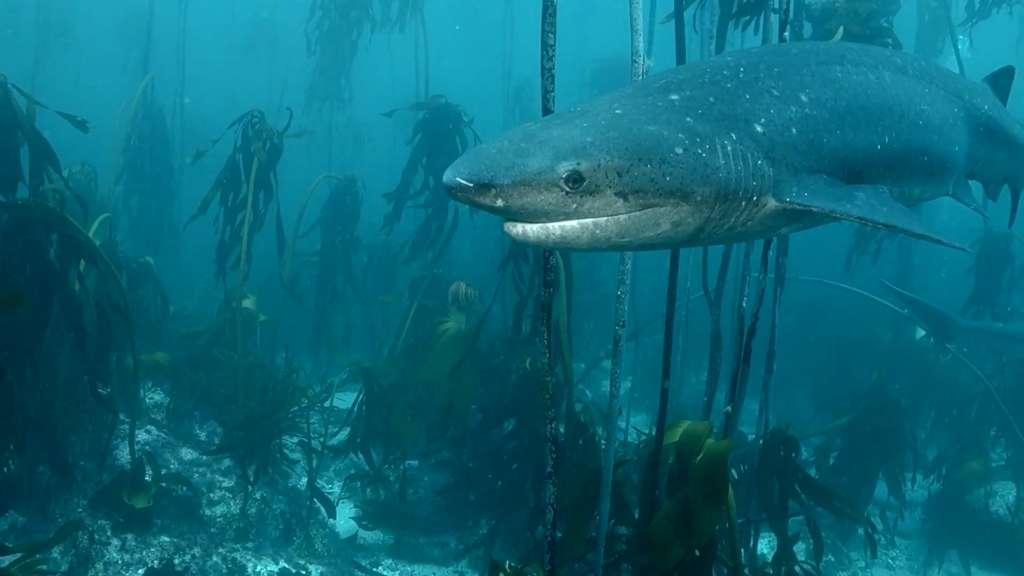 Le requin-vache est considéré comme l'espèce de requin la plus ancienne encore vivante. © NoemImages, capture YouTube