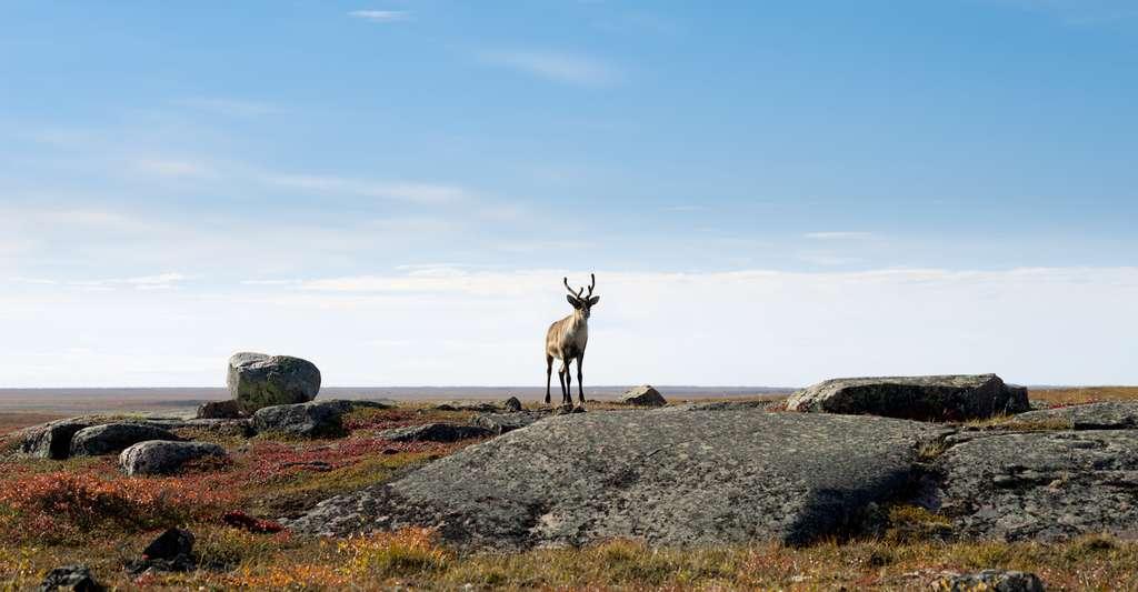 L'été, les caribous se nourrissent dans la toundra. © Christopher Howey, Fotolia