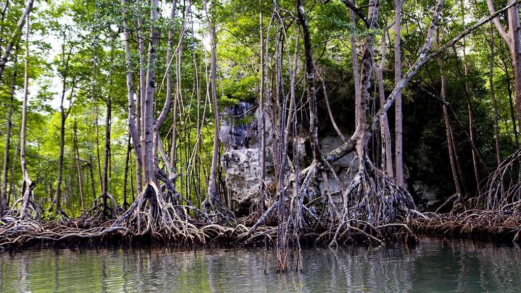Les mangroves dans la baie de Samaná