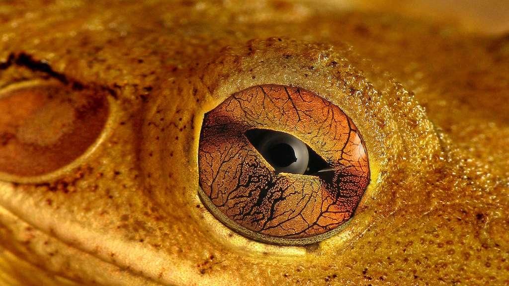 L'œil de la rainette de Cuba et sa pupille horizontale