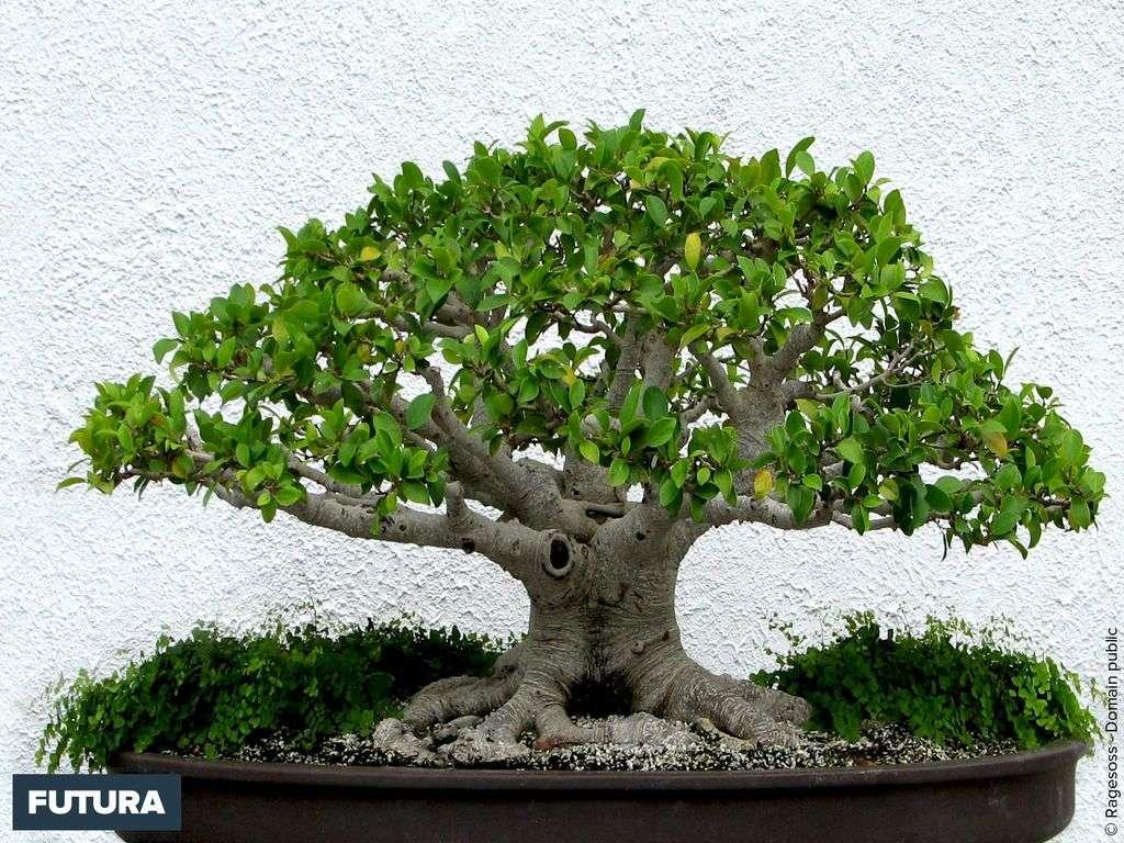 Bonsaï Ficus retusa - Japon