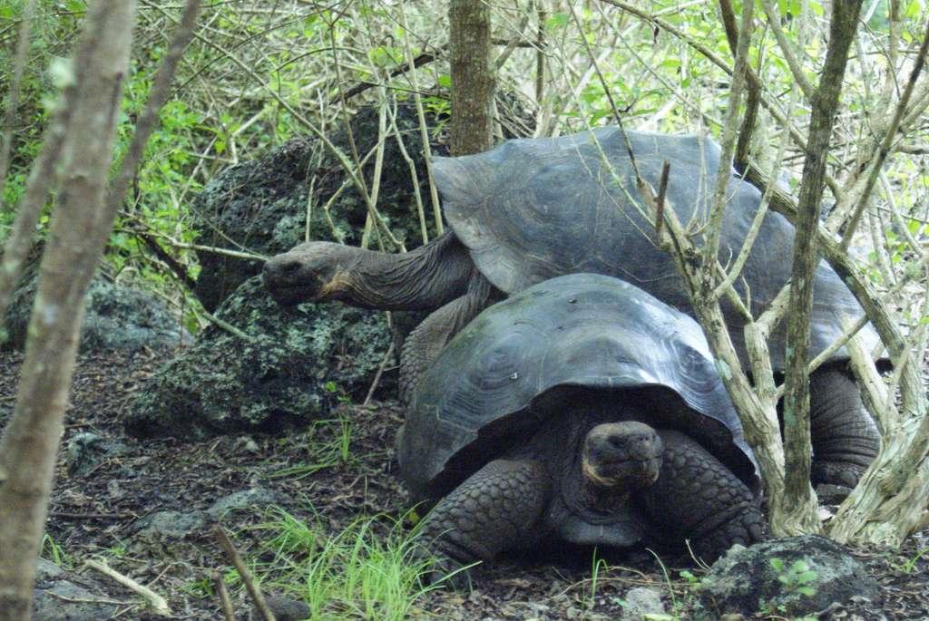 Environnement naturel de la tortue géante des Galápagos. © Flickr, Dallas Krentzel, cc by 2.0