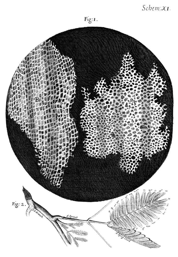 Robert Hooke décrit pour la première fois une cellule biologique avec des plantes, et illustre la texture du liège. © Domaine public