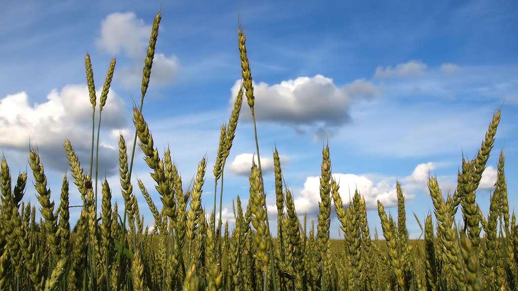 Le triticale, une céréale proche du blé