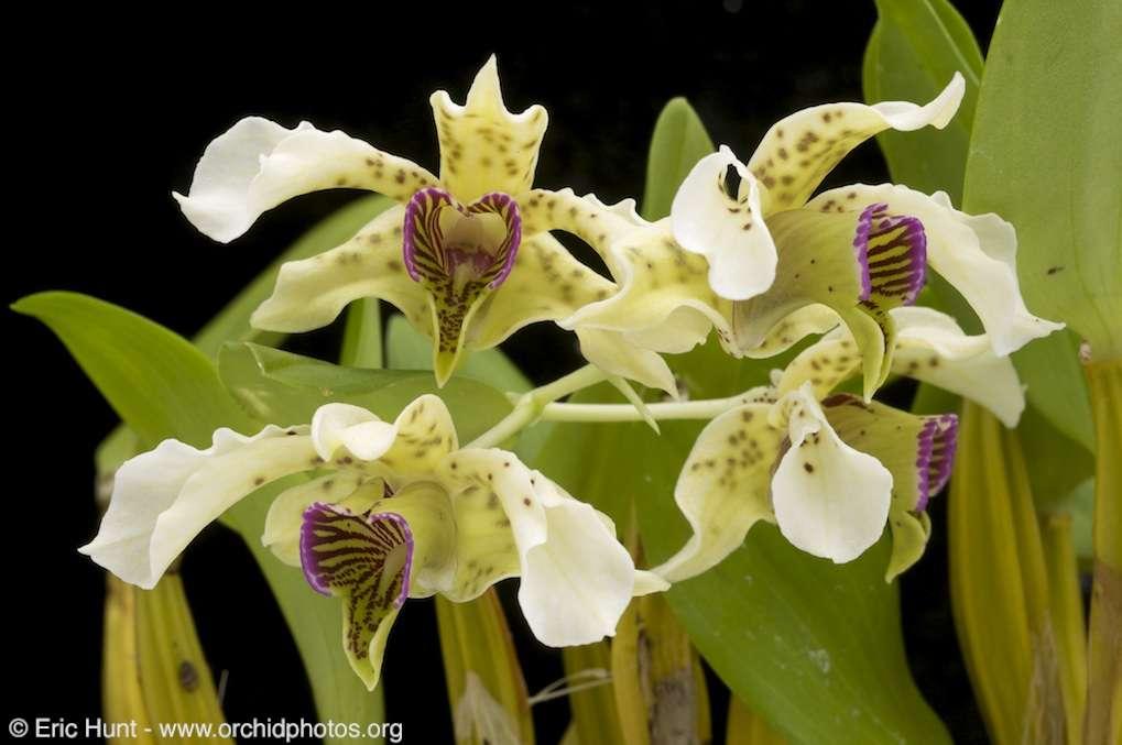 Orchidée Dendrobium normanbyense