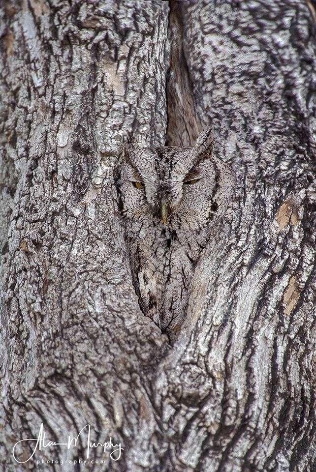 Le hibou petit-duc s'est fondu dans son arbre. © Alan Murphy, Facebook