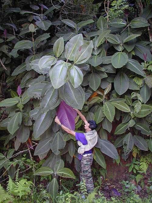 Le miconia sur le mont Marau, à Tahiti, en novembre 2000. Introduit à Tahiti en 1937 comme plante ornementale, il recouvre aujourd'hui les deux tiers de l'île. © Eloise Killgore