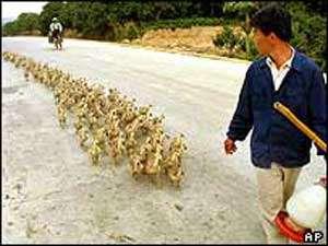 Virus influenza A aviaires : le personnel avicole est le plus à risque. © DR