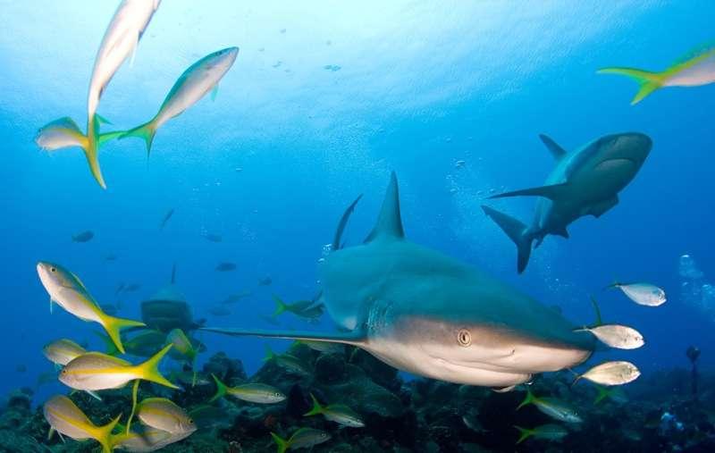 Lors de chaque recensement, les plongeurs ont dénombré les requins sur une surface d'au minimum un hectare, en étant tirés derrière un bateau. © Willy Volk, Flickr, CC by-nc-sa 2.0