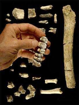 Les os mis au jour comptent un fémur, plusieurs dents, et le plus grand fragment de mâchoire jamais découvert d'un hominidé (Crédits : Tim D. WhiteBrill Atlanta)